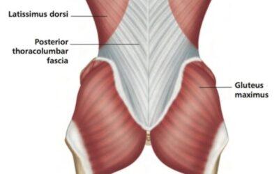The Gluteus maximus and the thoracolumbar fascia.